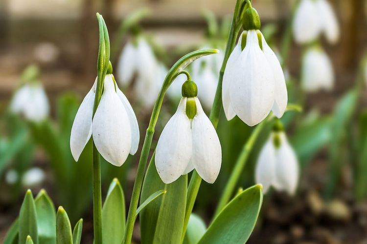 Spring bells Flower Flowers Flora Floral Plant Growth Flowering Plant Beauty In Nature Snowdrop Vulnerability  Freshness Fragility Petal Close-up White Color Focus On Foreground Inflorescence Nature Flower Head No People Day Outdoors Springtime Spring Green