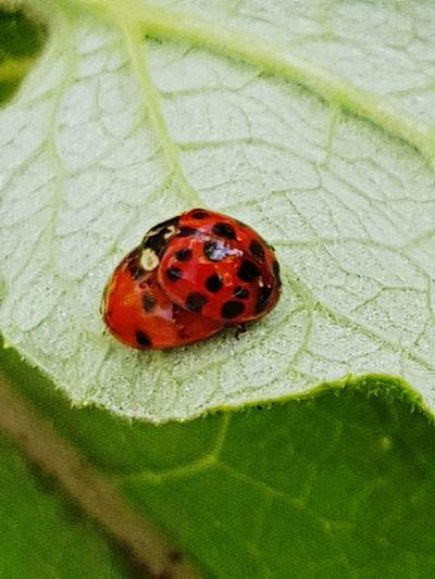 ladybirds Leaf