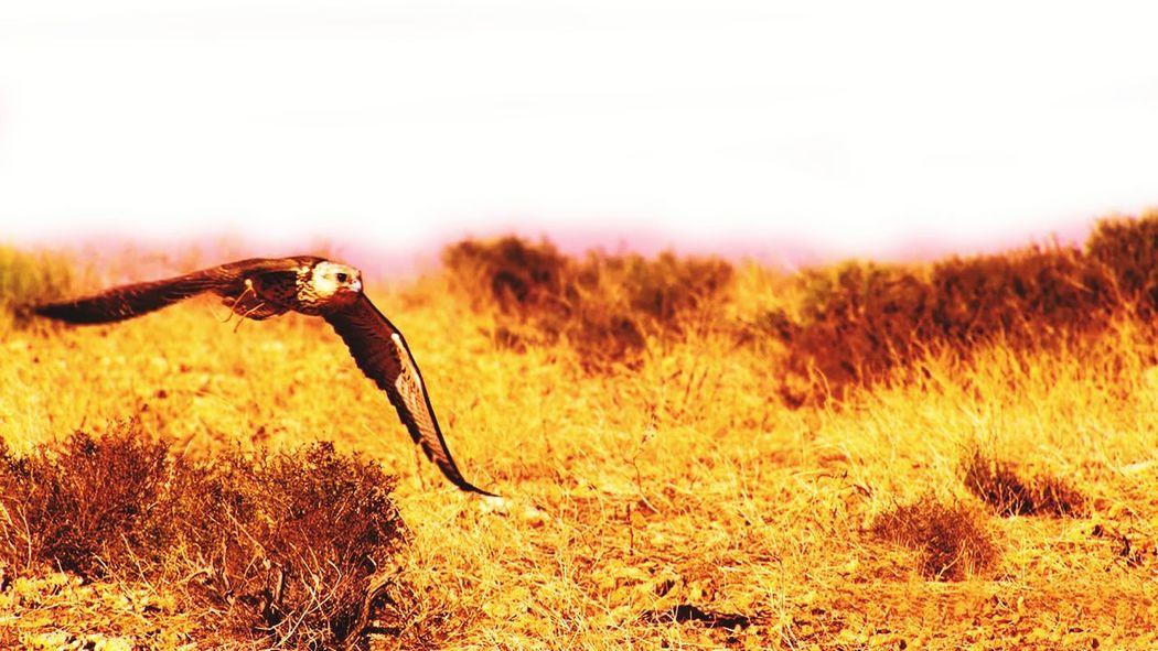 eagle Gold Eagles Eagle Bird Elang Gold Eagle EyeEm Selects Cheetah Sunset Safari Animals Full Length Grass Sky