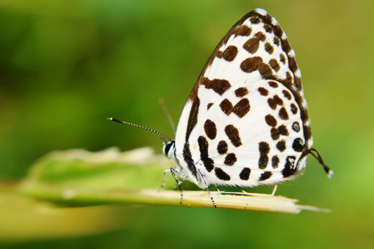 The Common Pierrot butterfly (Castalius rosimon) on green background. Outdoor Park Blur Colorful Green White Black Insect Common Pierrot Garden Wing Castalius Butterfly Outdoor Background Insect Butterfly - Insect Close-up Animal Themes Wild Animal Antenna Countryside