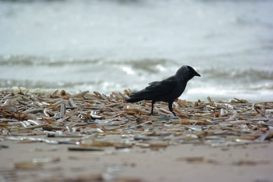 Lunchtime... Beautiful Nature Life Is A Beach Northsea Crows Point Of View Capture The Moment Mussels Bird Photography
