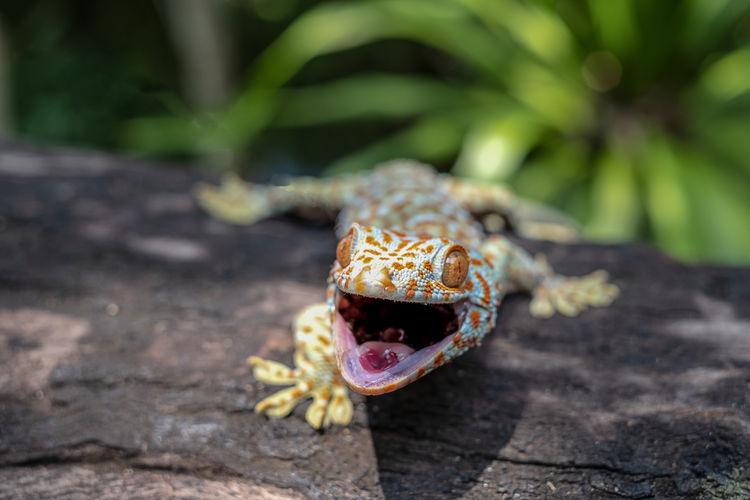 Gecko on wood