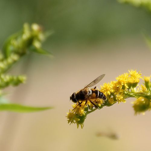 Schwebfliege Eristalis Eristalistenax Insects Beautiful Nature Insect Photography Insect