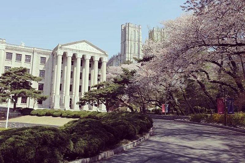 Korea College 慶熙大學 Beautiful Tree Buildings Blossom Flowers Photooftheday Instagood 櫻花 Like