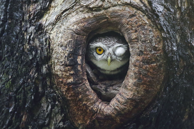 Spotted owlet inside hole bird nest open one eye and closed one eye ,funny shot Animal Animal Eye Animal Head  Animal Themes Animal Wildlife Animals In The Wild Bark Bird Close-up Day Eye Looking At Camera Nature No People Nocturnal One Animal Plant Portrait Textured  Tree Tree Trunk Trunk