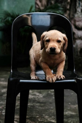 Pets Dog Animal Puppy Portrait One Animal Looking At Camera Animal Themes No People Mammal Outdoors Day Dog❤ Dogs Of EyeEm Labrador LabradorLove Animal Body Part Dogstagram Doglover Domestic Animals