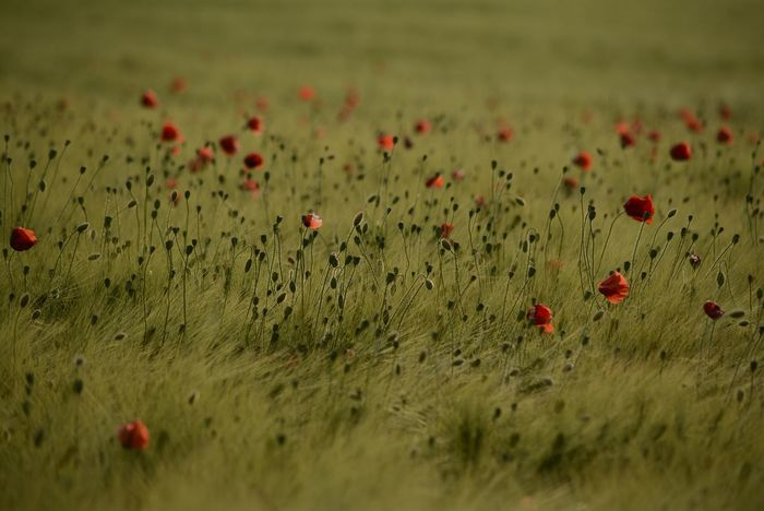 Poppies In Cereal Field Poppies Field Cornfield Wonderful Nature Outdoors Red Poppy Flower Perfect Shot Beauty In Nature Nature Collection Eyeem4photography EyeEm Gallery Capture The Moment Poppy The Great Outdoors - 2017 EyeEm Awards Hello World Enjoy The Nature Nikon_photography_ Baden Austria So Beautiful View Field Flowers Wonder Of Nature Agrarwirtschaft Great View Nikon_photography Enjoying The Moment Be. Ready. EyeEmNewHere EyeEm Ready   Colour Your Horizn Summer Exploratorium