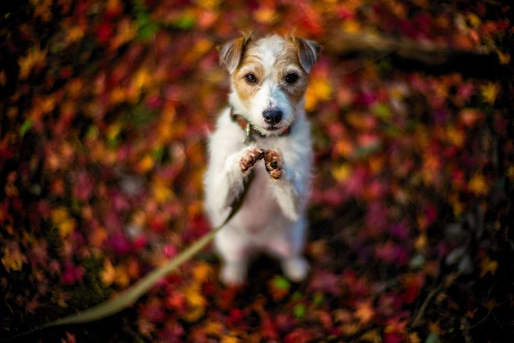 Dog Pets One Animal Domestic Animals Autumn Animal Themes Mammal Leaf Looking At Camera Outdoors Day Portrait No People Nature Jackrussell Jackrussellterrier Kinoko Autumn Colors Fall Colors Fallen Leaves Bokeh Bokeh Photography EyeEm Best Shots EyeEm Best Edits EyeEm Nature Lover
