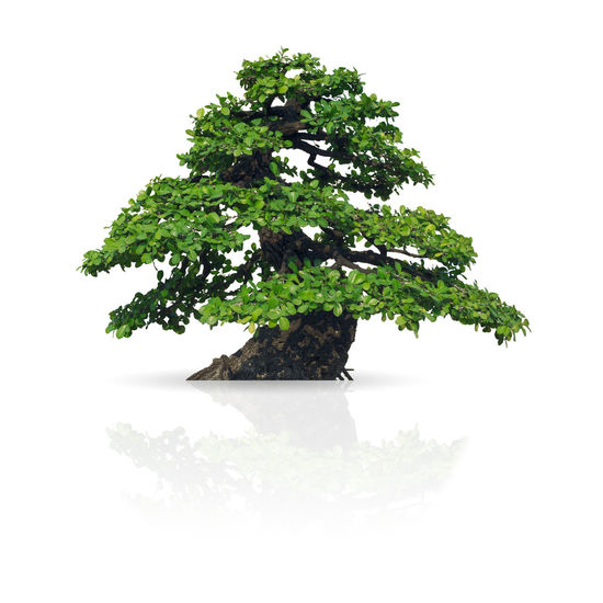 Tree isolated on white background with clipping path. Tree Isolated Trees White Green Background Nature Forest Natural BIG Environment Branch Stem Summer Season  Life Foliage Large Lone Deciduous Spring Outdoors Growth Ecology Botany Garden