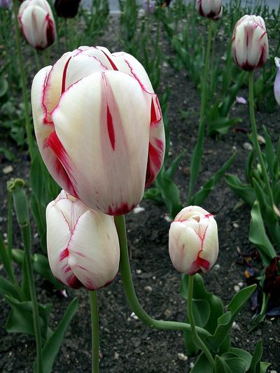 White & Red Tulips Flowers Тюльпаны Spring Striped Tulips White Tulips