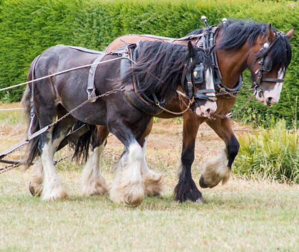 Horse Photography  Horse Power Horses Shire Horse Traditional EyeEm Selects Horse Grass Livestock Horsedrawn Working Animal Bridle
