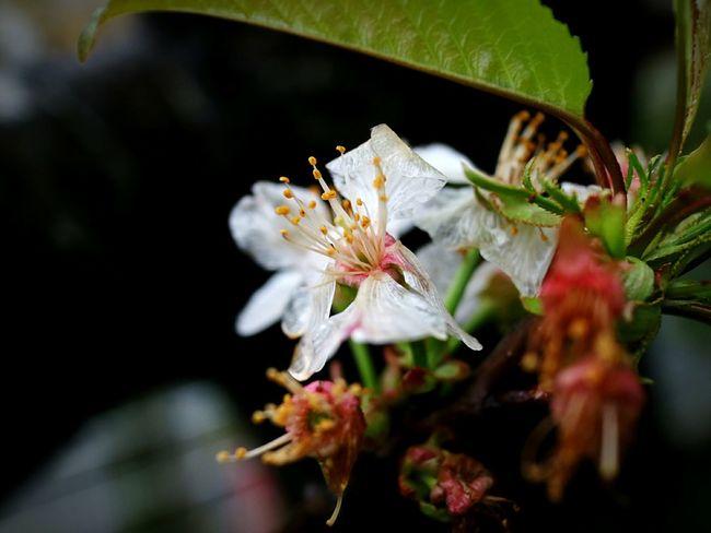 Flower No People Close-up Plant Fragility Flower Head Beauty Sakura Japan Fleur Blossom