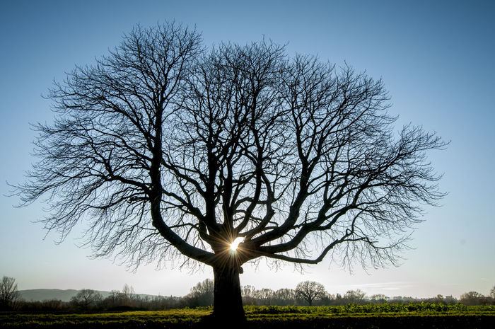Silhouette Bare Tree Beauty In Nature Branch Clear Sky Day Environment Field Horsechestnut Horsechestnuttree Land Landscape Nature No People Non-urban Scene Outdoors Plant Scenics - Nature Sky Sunlight Tranquil Scene Tranquility Tree