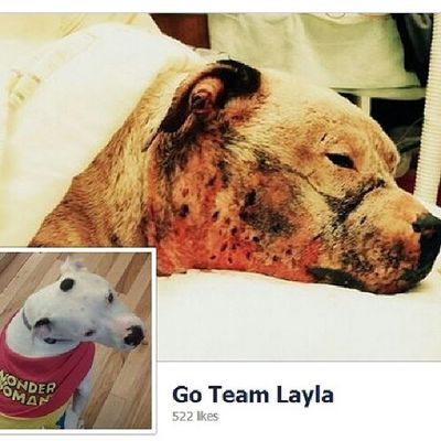 "Layla has a Facebook page!!! Things are moving quick, and her condition changes rapidly, so for not-picture-oriented posts I started the page. Please ""like"" it and show your support at http://www.facebook.com/goteamlayla -------- Pitbull Pitbulls Pitbullsofinstagram Pitlove Pitbullsofig Pitbulllife Pitbullinstagram Pitbullmix Pitbullrescue PitBullNation Pitbulllovers Pitbullsallday Pitbullsinstagram Pitbulllover Bulldog Bulldogs Bulldogsofinstagram Bulldoggram Bulldoglove Bulldogmoments Bulldognation Bulldogsinstagram Bulldogsofig Bulldoglover Bulldoglovers SavingLayla SaveLayla GoTeamLayla Layla"