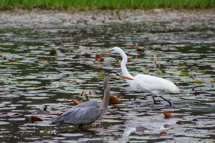 Missouriphotography Missouriphotographer Outdoors Outdoor Photography Reflection Landscape_photography Landscape_Collection Audubon Bird Water Lake Gray Heron Great Blue Heron Heron Great Egret Egret Wading
