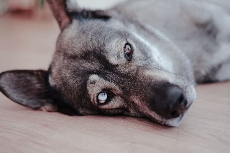 Portrait Of Dog Resting On Hardwood Floor At Home