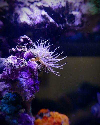 Underwater Sea Life UnderSea Coral Purple Blue Close-up Animal Themes Scuba Diving Anemone Sea Flower Sea Rose Aiptasia Fragile Beauty Glasrose My First EyeEm Picture  The Week On EyeEm EyeEmBestPics EyeEm Best Shots EyeEm Selects