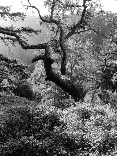 Tree Branches Blackandwhite Showcase: February Bonny Doon California United States Landscapes With WhiteWall