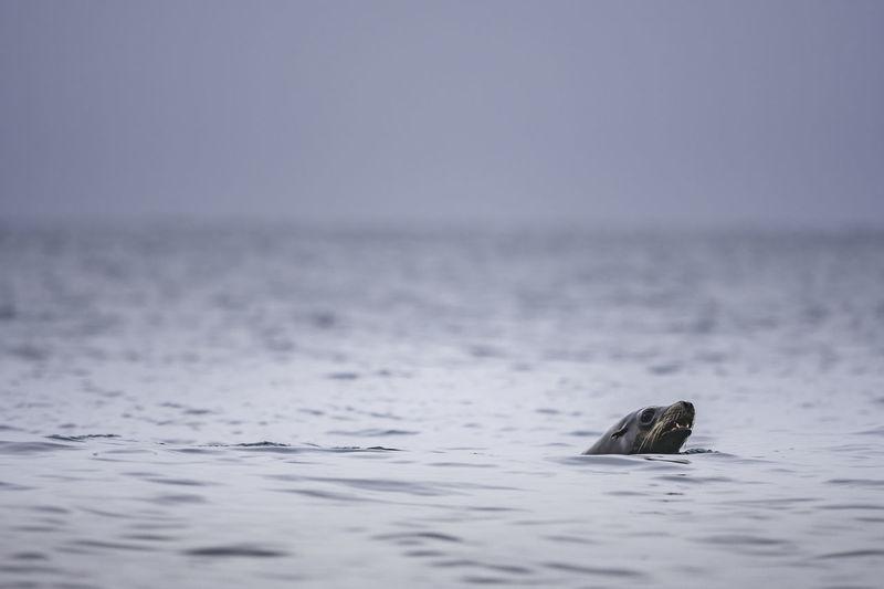 Sea Lion Swimming In Vancouver Island
