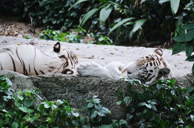 White tigers resting in forest