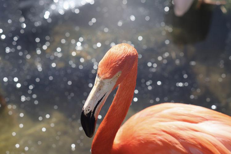 Closeup portrait of pink flamingo