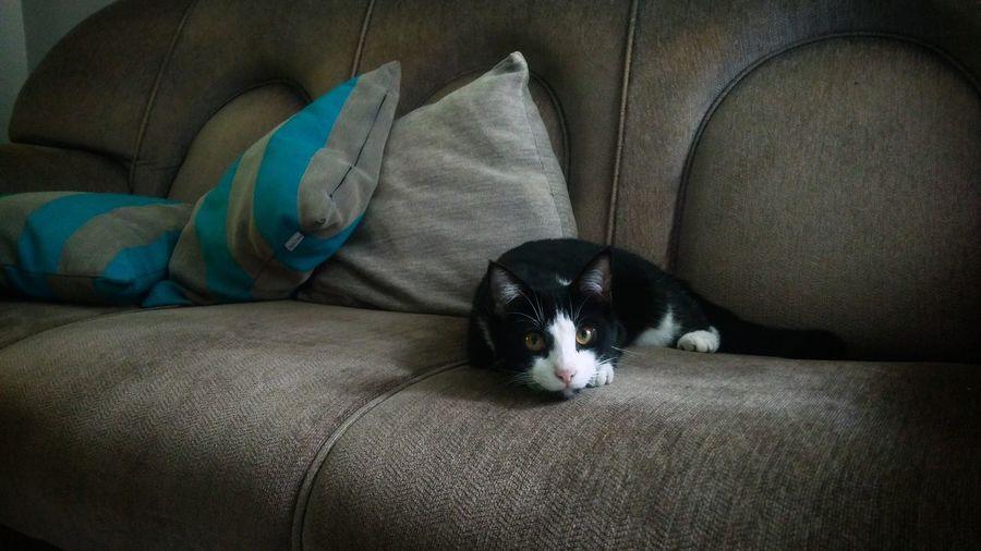 Gentle cat Cat