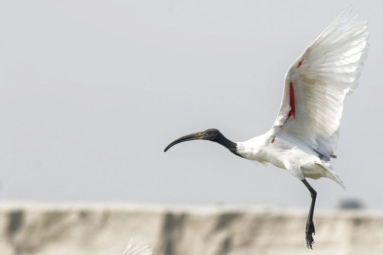 ব্লাক হেডেড আইবিস ব্লাক হেডেড আইবিস Jahidhasansajal Goldfishphotography Common Birds Bird Full Length Motion Animal Themes Close-up Sky Sea Bird Black-headed Gull Water Bird White Swan White Stork Flapping Stork Black Swan Bird Of Prey
