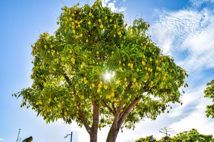 Tree with mango