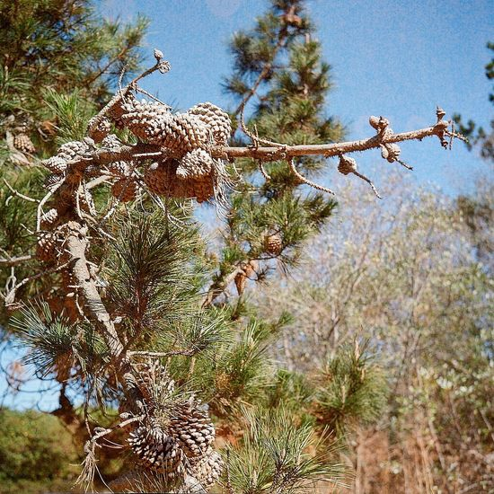 Taking Photos Real Film Lubitel 166+ Ishootfilm Medium Format California Drought Twin Lens Reflex Pinecone