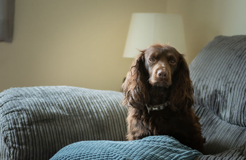 Portrait of cavalier king charles spaniel sitting on sofa at home