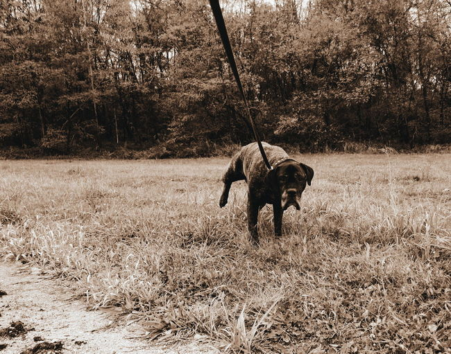 EyeEm Selects Animal Themes Domestic Animals Mammal Dog Outdoors Day Nature Pets Sand One Animal No People Animals In The Wild Pee Natural Moment Moment Captured Number One Cane Corso Mastiff Dogs Pet Necessary