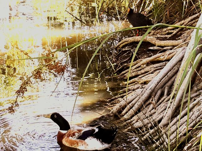 Mr Duck Pandanus didn't see the other bird till i edited. ...lolzzz,..sneaky 😆✌