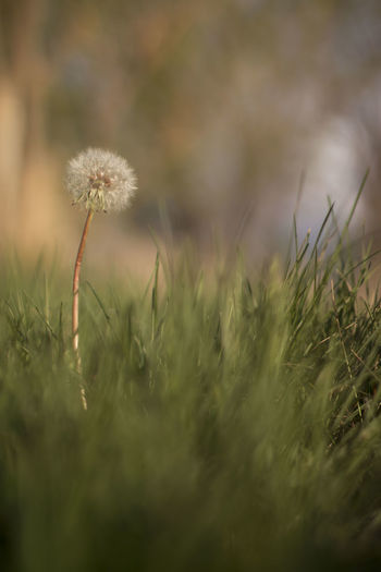 A dandelion in the park at sunset. Nature Plant Beauty In Nature Bokeh Close-up Dandelion Day depth of field Field Flower Flower Head Fragility Freshness Golden Hour Grass Growth Macro Nature No People Outdoors Plant Selective Focus Uncultivated Weed