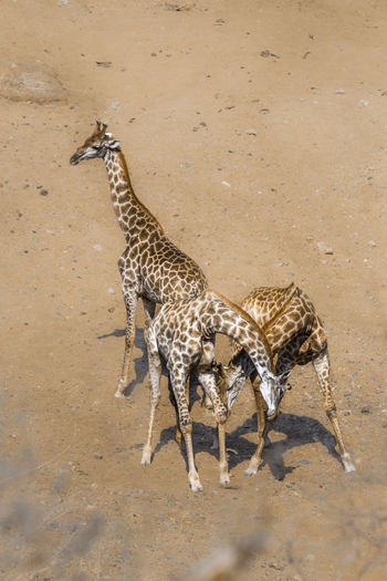 Giraffe standing on ground