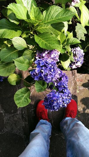 Gardens walkway backdrop Nature Backgrounds Botanical Species Walkway Flowering Plants Botanical Garden Hydrangea Low Section Men Human Leg Standing High Angle View Personal Perspective Shoe Jeans Close-up Human Foot Feet Human Trousers Footwear Blooming Growing Plant Life Leaves Flat Shoe Pair Canvas Shoe Flower Head In Bloom