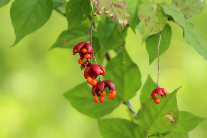 Japan Nature Nuts Red Pretty Shonan