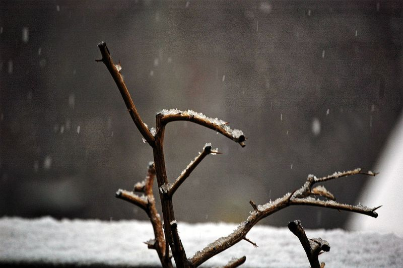 Snow Day Close Up Focus On Foreground Minimal Detail Snow Winter Cold Temperature Branch Tree Close-up Dried Plant Dry Blooming Fallen Leaf Dead Plant