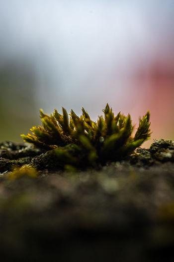 Close-up of moss growing on rock against sky
