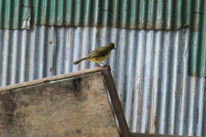 Weathered Animal Themes Animal Wildlife Animals In The Wild Bird Blue Colour Corrugated Iron Day Galvanized Iron Green Colour Life Nature No People Old One Animal Outdoors Perched Perching Rusty Metal Scrap Urban