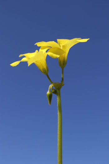 Close-up of yellow flowering plant against clear blue sky