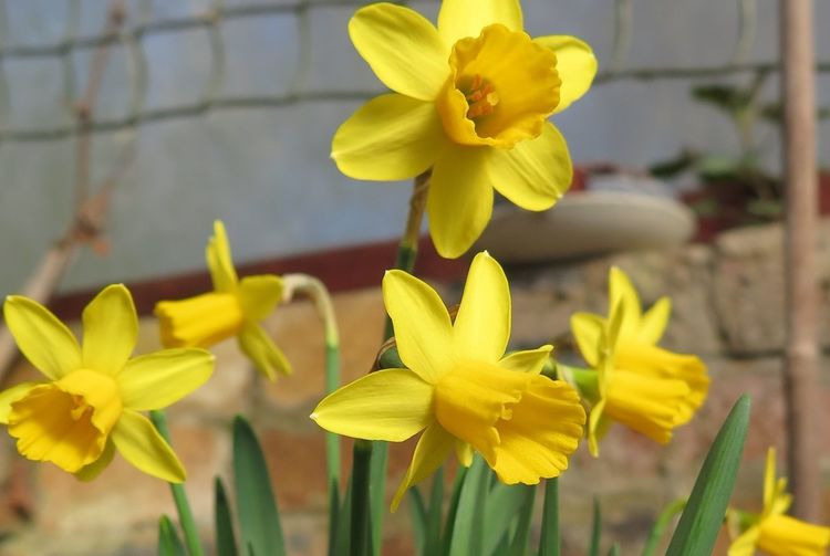 England 🌹 Good Friday Flowers Lesbury Paint The Town Yellow Daffodils Narcissus Northumberland Yellow Beauty
