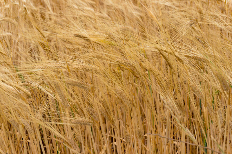 Agriculture nature background of wheat grain plant. Nature texture Wheat Field Grain Agriculture Backgrounds Rural Scene Close-up Cereal Plant Plant Crop  Barley Full Frame Growth Farm Stalk
