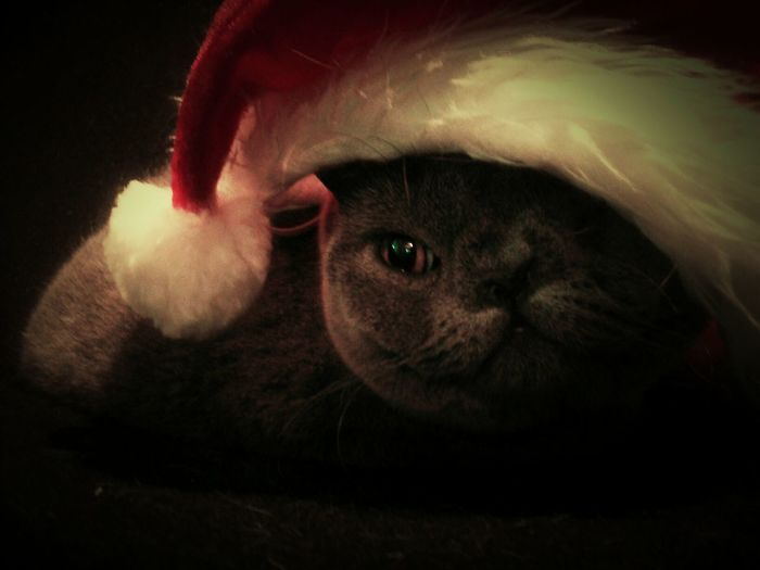 Getting close to Christmas Christmas Cats Mycatscuterthanyours