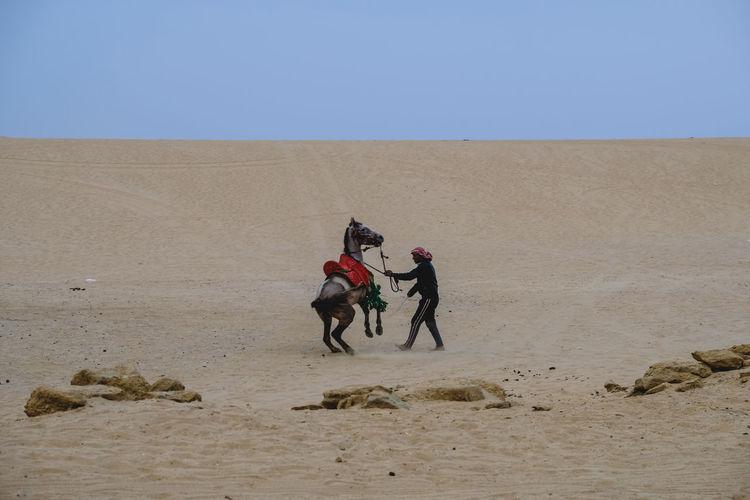 Man holding arabian horse on desert against clear sky