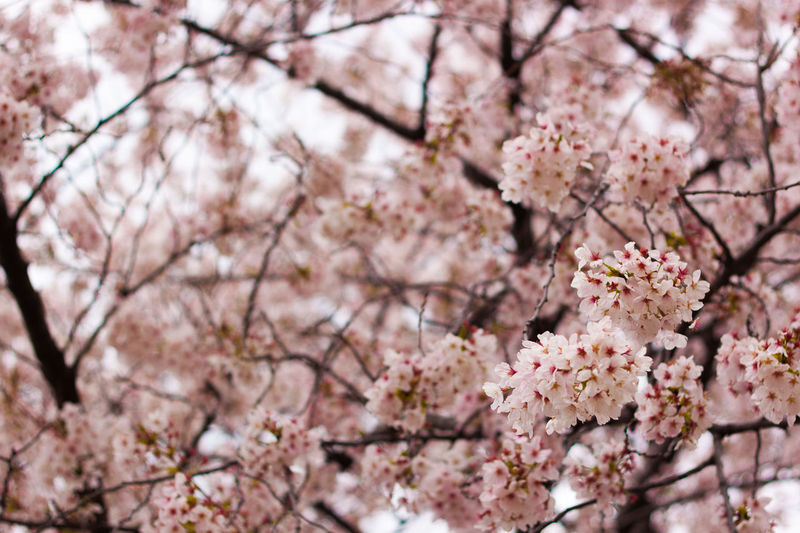 Cherry Blossoms Blooming In Park