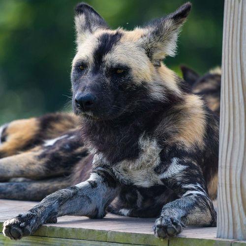 Close-Up Of Wild Dog Sitting Outdoors