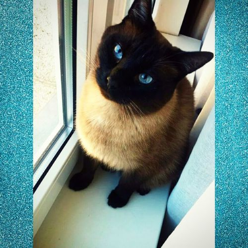 My perfection, Pupsik?? Siamese Cat Cat♡ Cat Lovers My Beautiful Cat