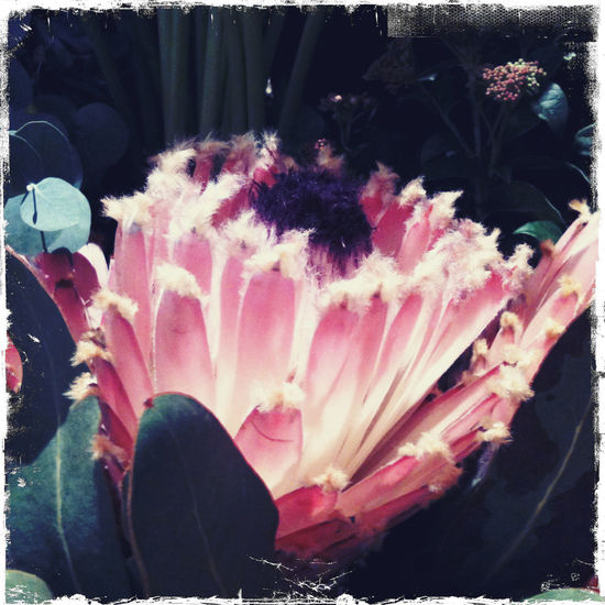 Protea Blossom Red Vintage Style Brightly Lit Close-up Flower Flower Head IPhone Photography Sugarbush