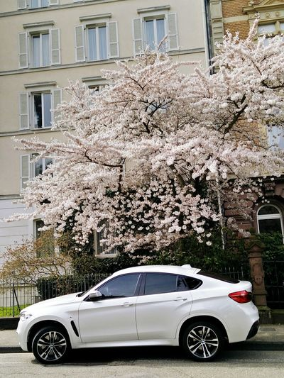 Natur And Beauty Bmw White Color White Tree Spring