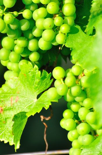 Agriculture Close-up Day Freshness Fruit Grapes Green Color Growth Leaf Nature No People Outdoors Vine Wine Making